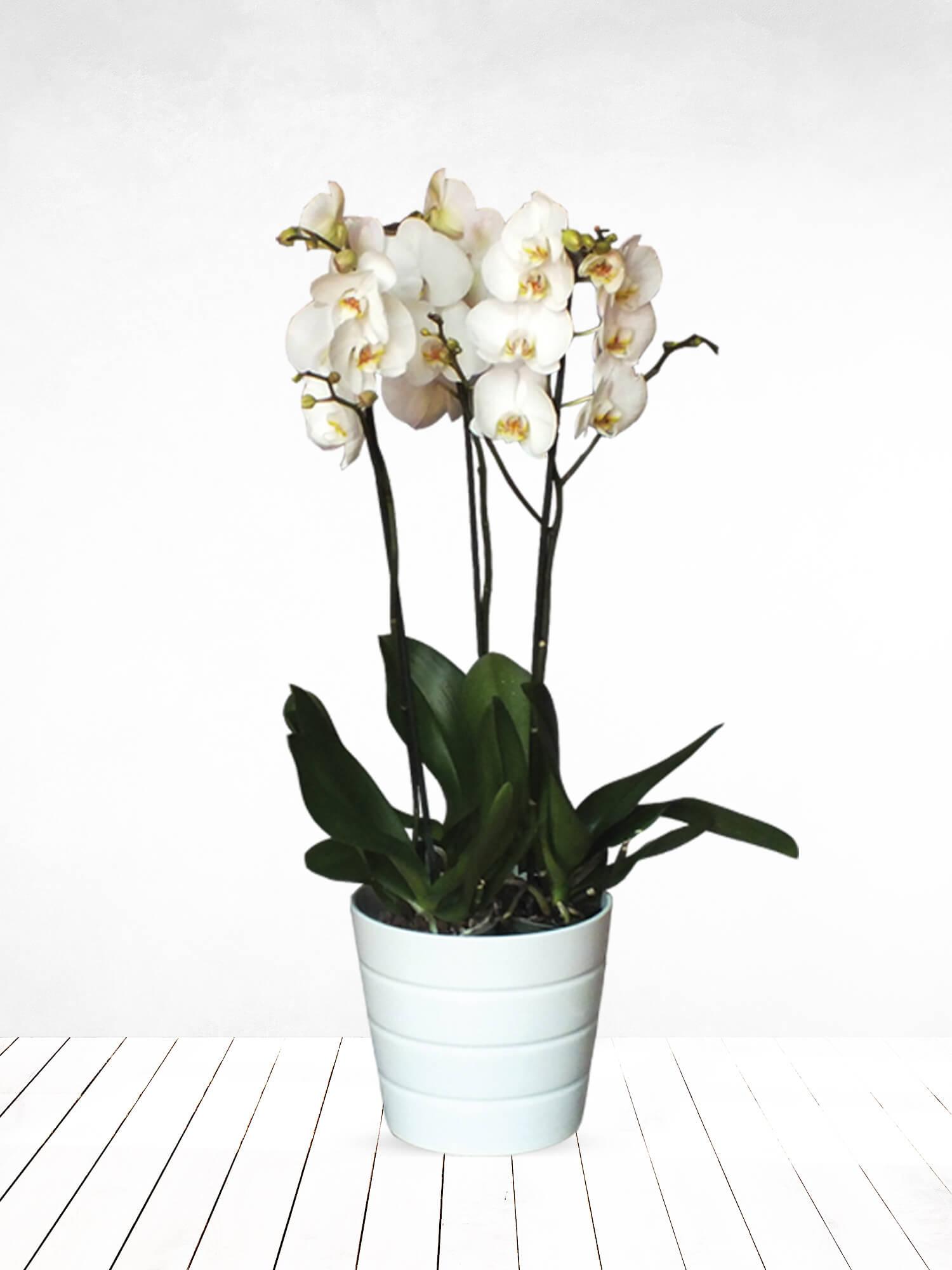 Asil Beyaz Üç Dallı Orkide