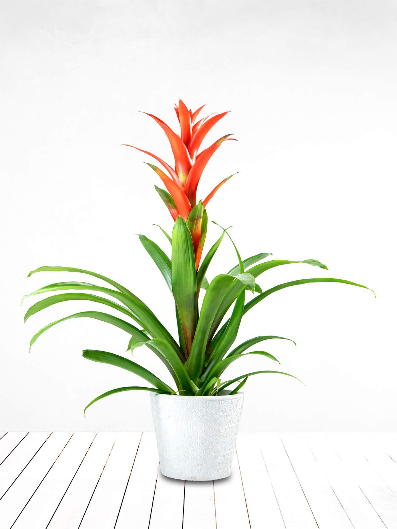 Guzmania (Guzmanya) Saksı Çiçeği