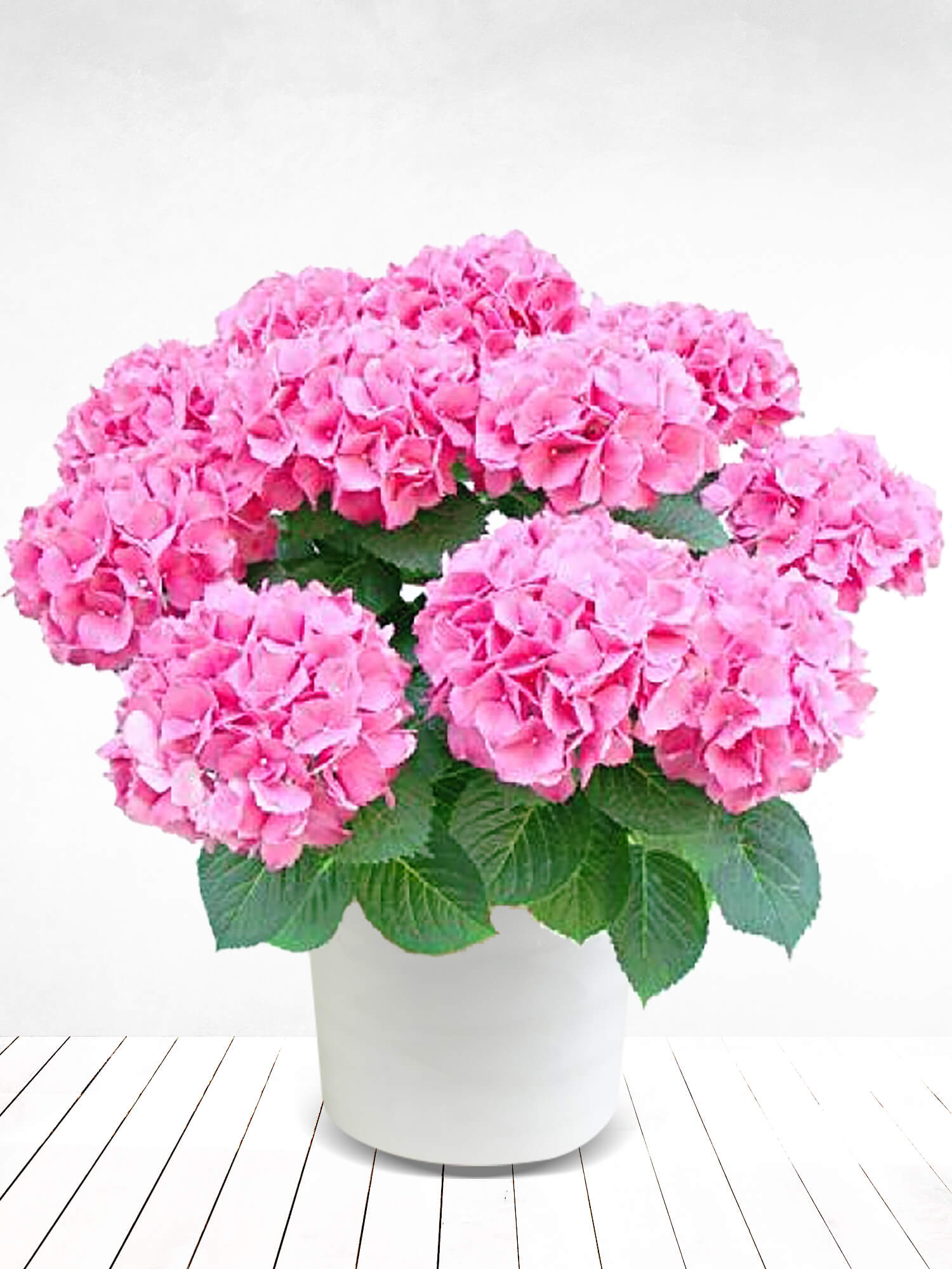 Saksıda Ortanca Çiçeği