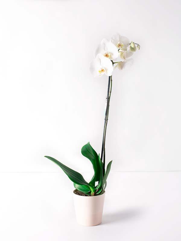 Beyaz Melek Tek Dal Orkide