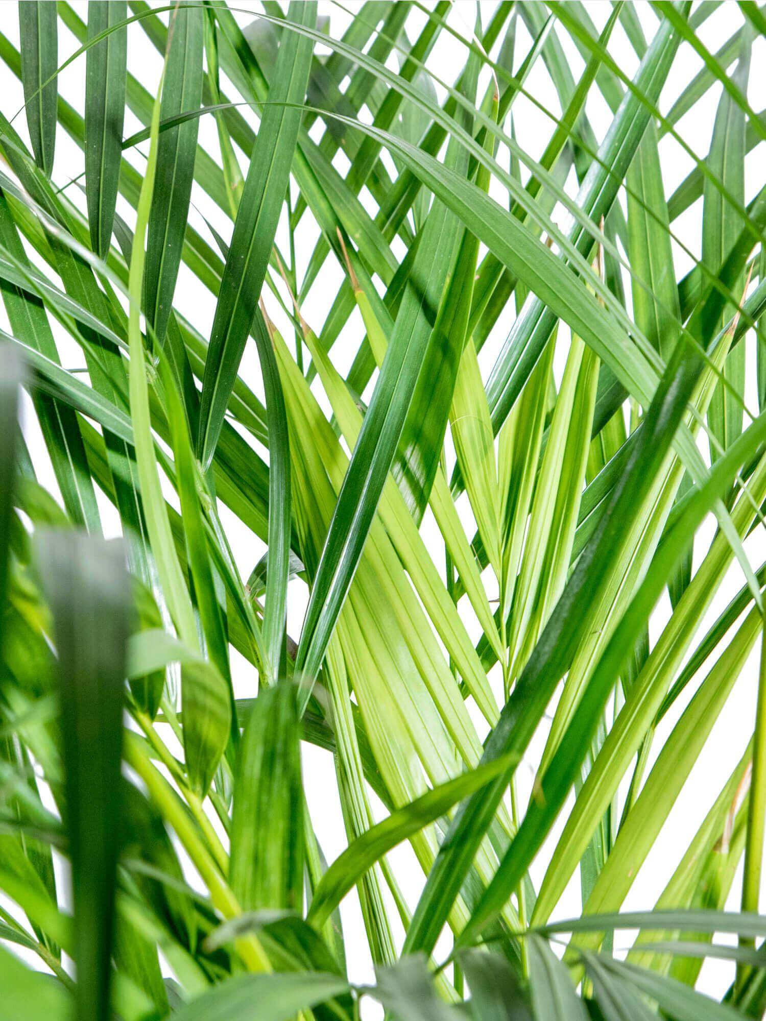 Areka Palmiyesi (Chrysalidocarpus Lutescens)
