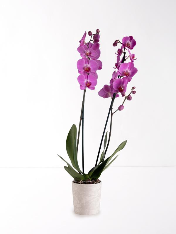 Mor Çift Dallı Orkide