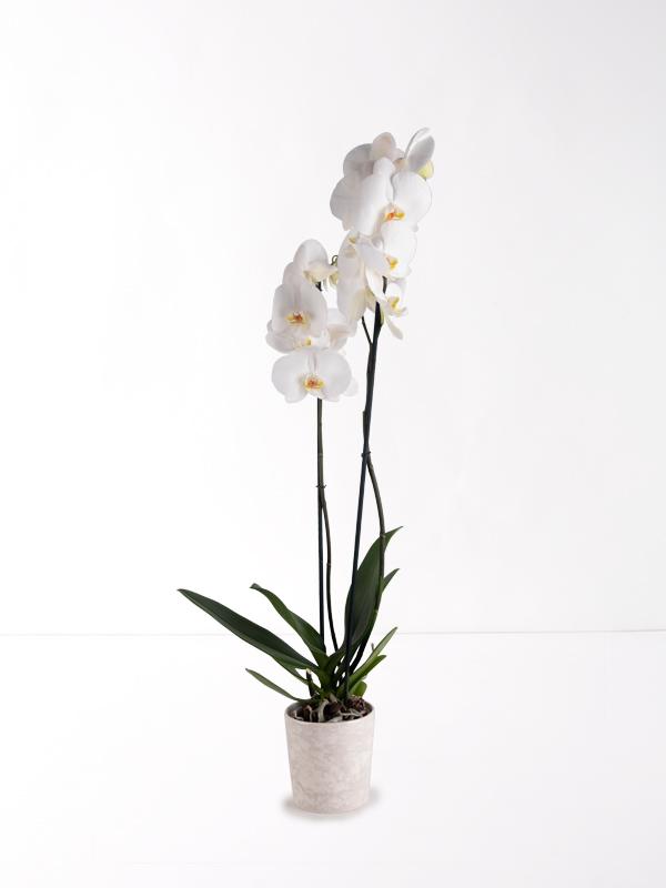 Beyaz Prenses Çift Dallı Orkide