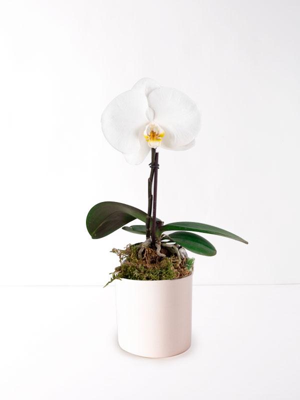 Büyük Tek Kandil Beyaz Orkide