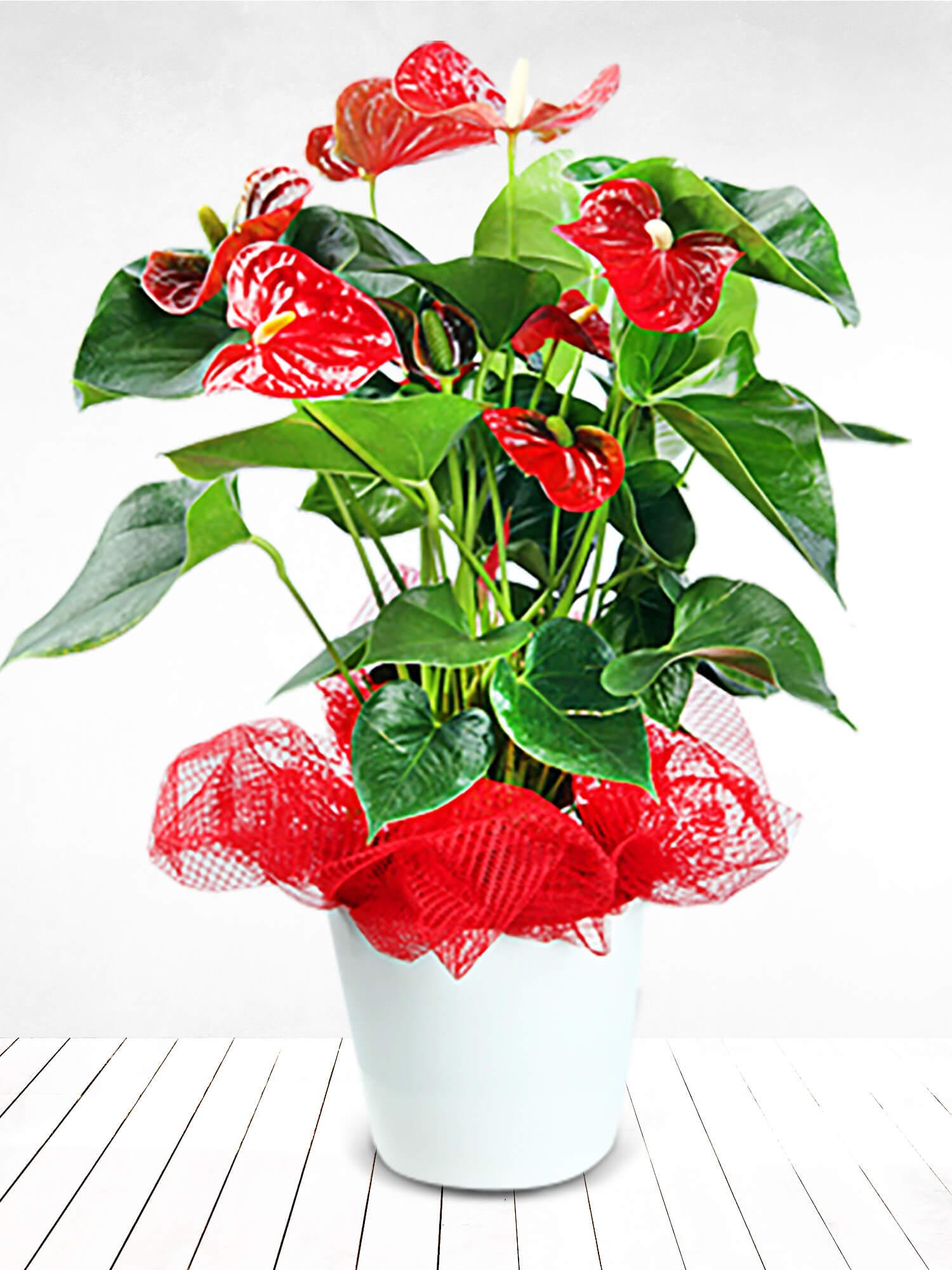 Kırmızı Ateş Antoryum Çiçeği