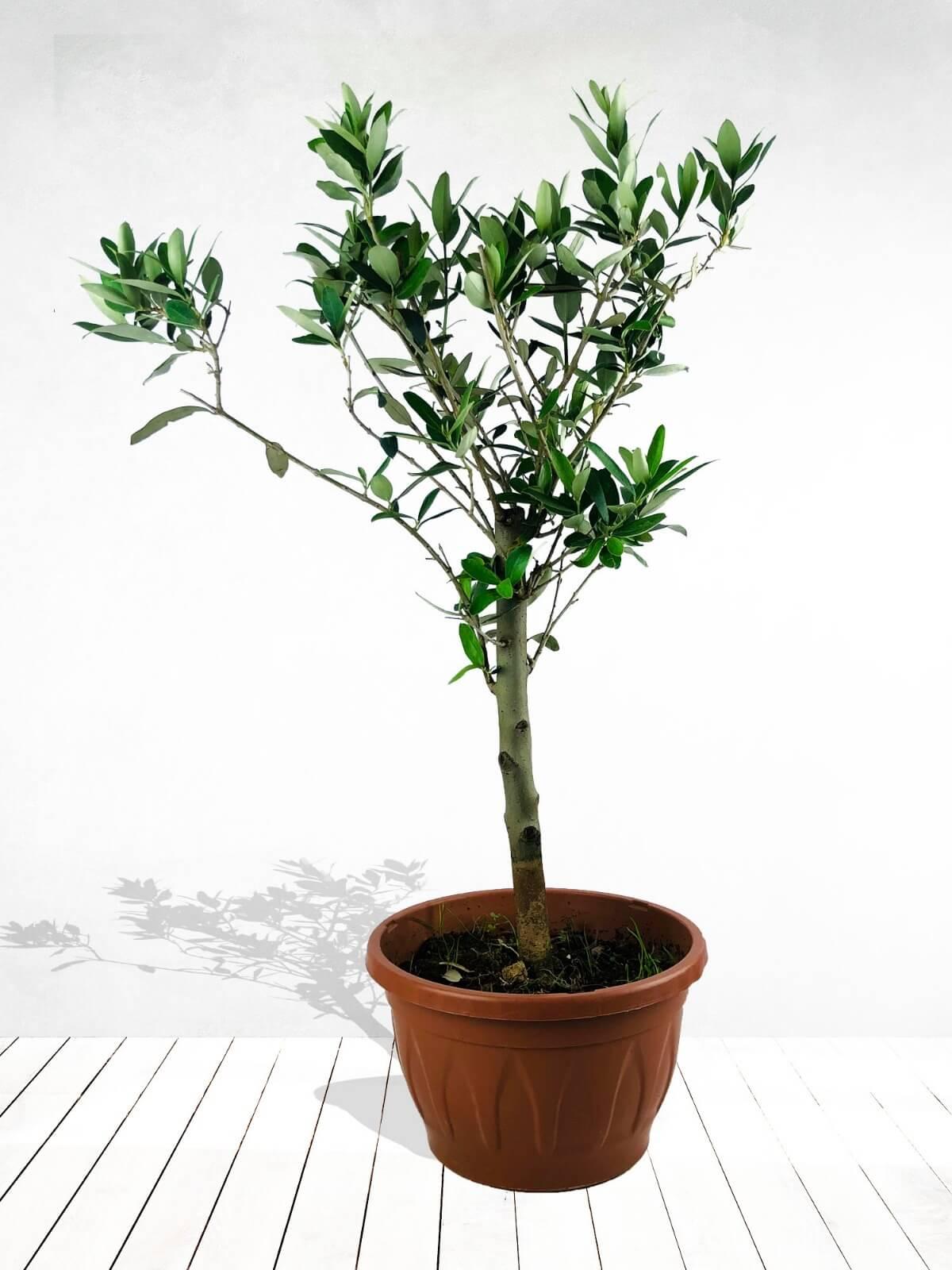 Saksıda Zeytin Ağacı
