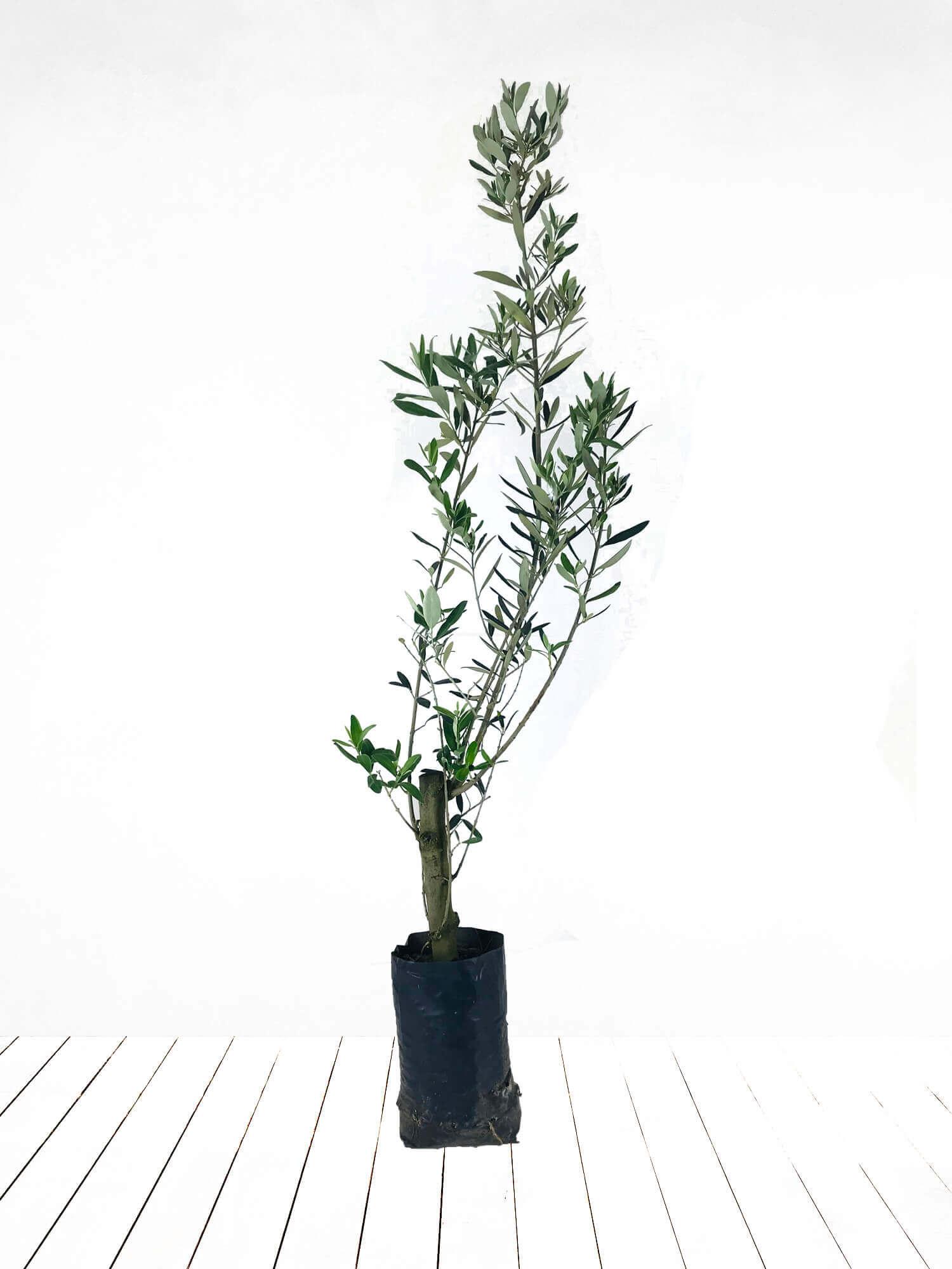 Torba Saksıda Zeytin Ağacı