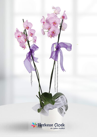 Masallardaki Aşk Pembe Orkide
