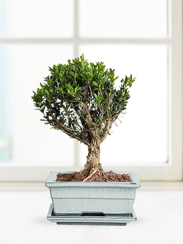 Minyatür Ağaç Bonsai