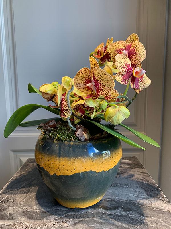 Turuncu Alacalı Orkide