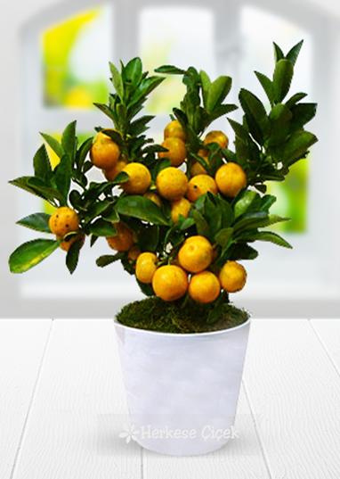 Saksıda Süs Mandalina Ağacı